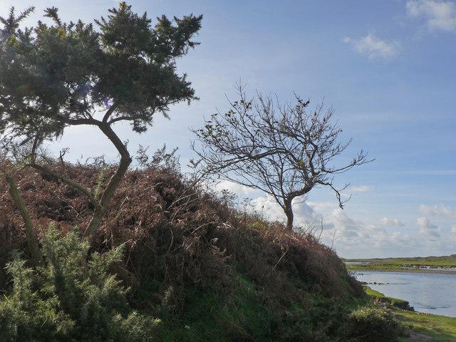 Twisted gorse bushes on the banks of the Ogmore.
