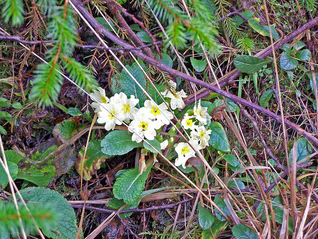 Primrose in the forest