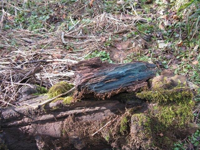 Green oak wood