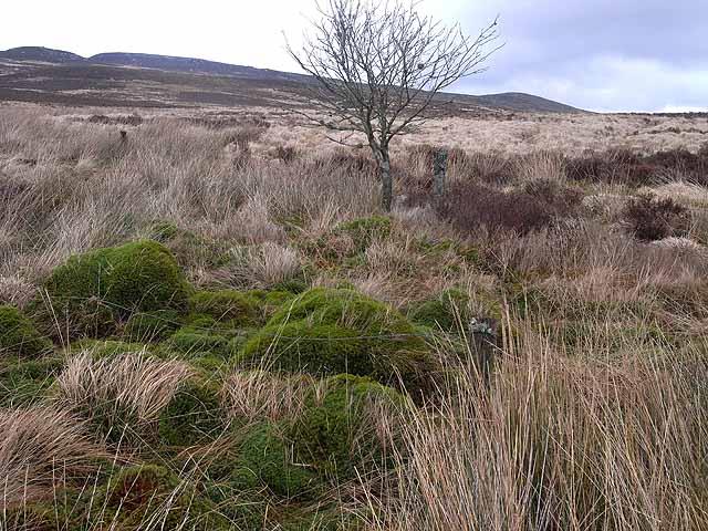 Solitary tree on Emblehope Moor