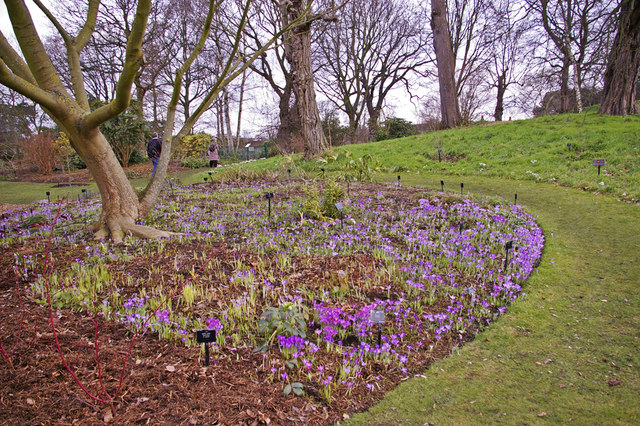 Crocus bed, Kew Gardens, Surrey