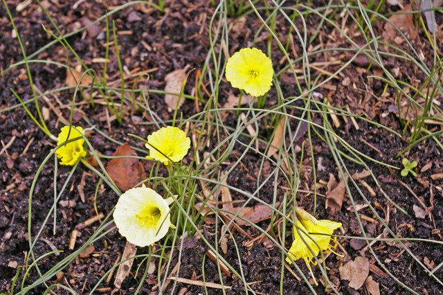 Narcissus romieuxxi