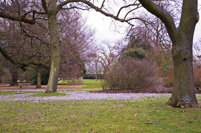 Crocus, Kew Gardens, Surrey