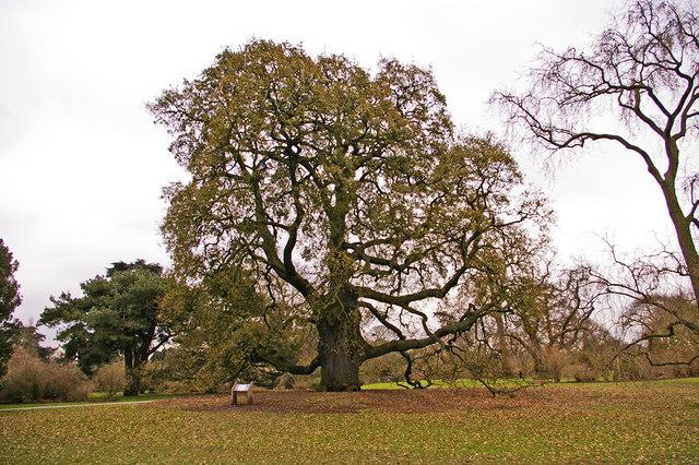 Lucombe Oak (Quercus x hispanica 'Lucombeana' )