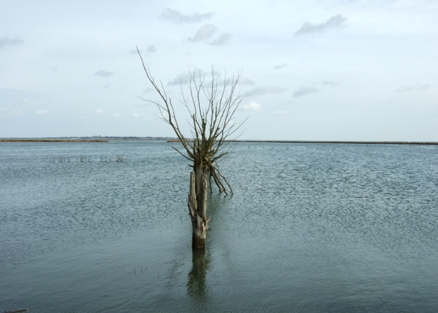Drowned hedgerow trees, Tollesbury