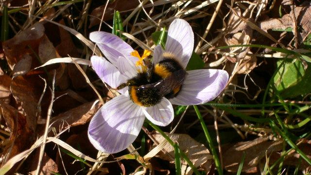 Bumble bee and crocus at Woolbeding