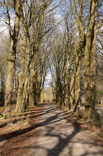 Beech Avenue in Downwards Plantation, Longwood