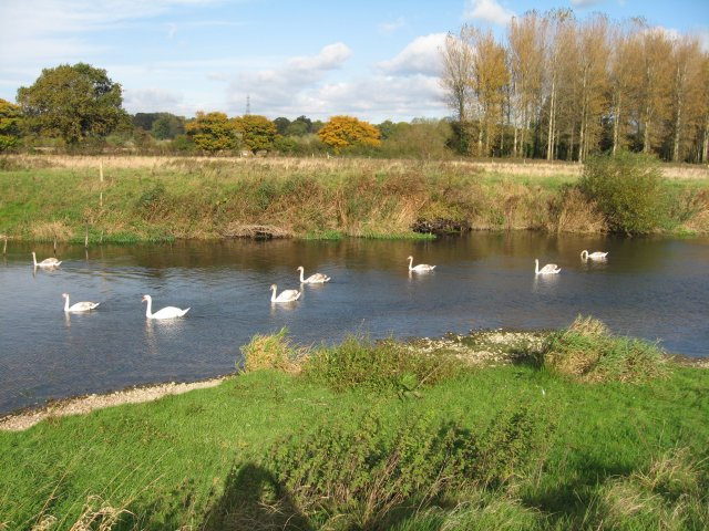 Swans at Bear Mead