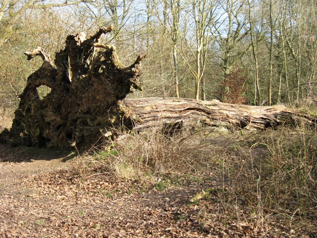 Fallen Giant – A victim of the Great Storm of 1987
