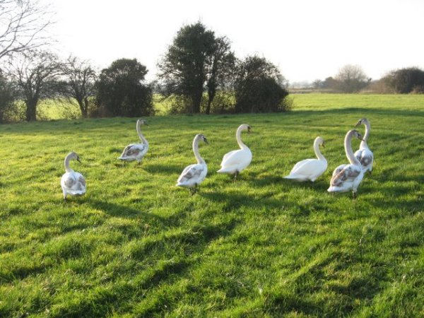 Swan refugees at Bear Mead