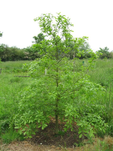 Oak sapling at Bear Mead