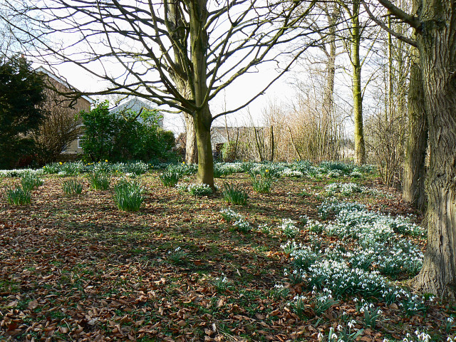 Trees, snowdrops and daffodils, A3102, Lyneham
