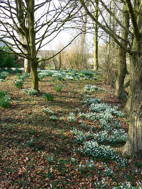 Snowdrops, trees and daffodils, A3102, Lyneham