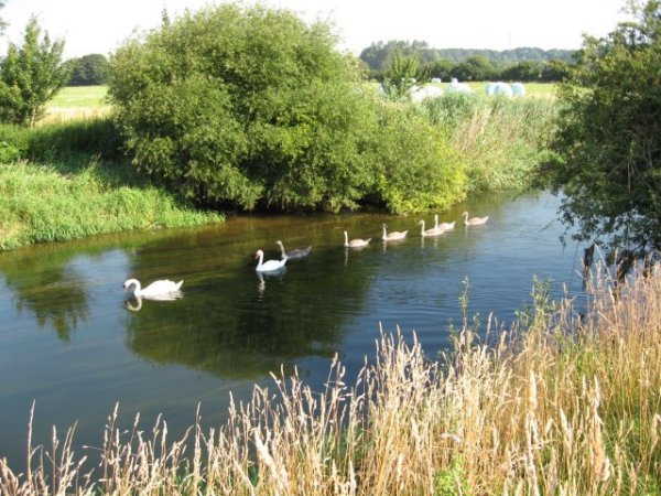 Swan family at Bear Mead