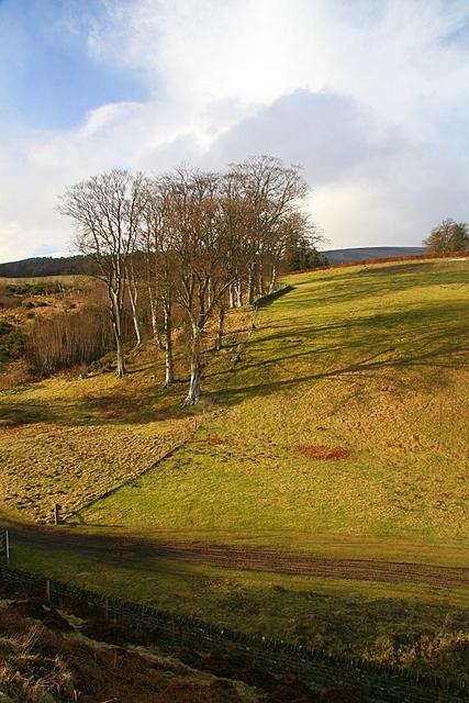 Beech trees, Auchnacree