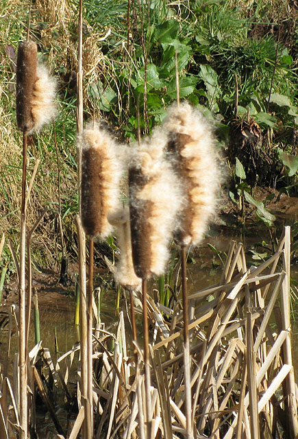 Fluffy bulrushes