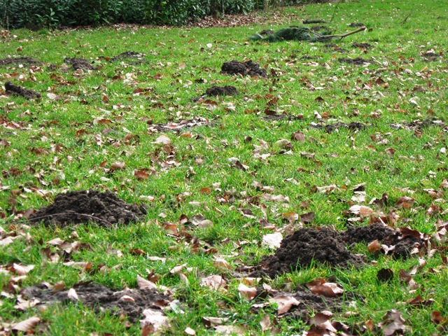Mole Hills in the grass in Wendover Woods