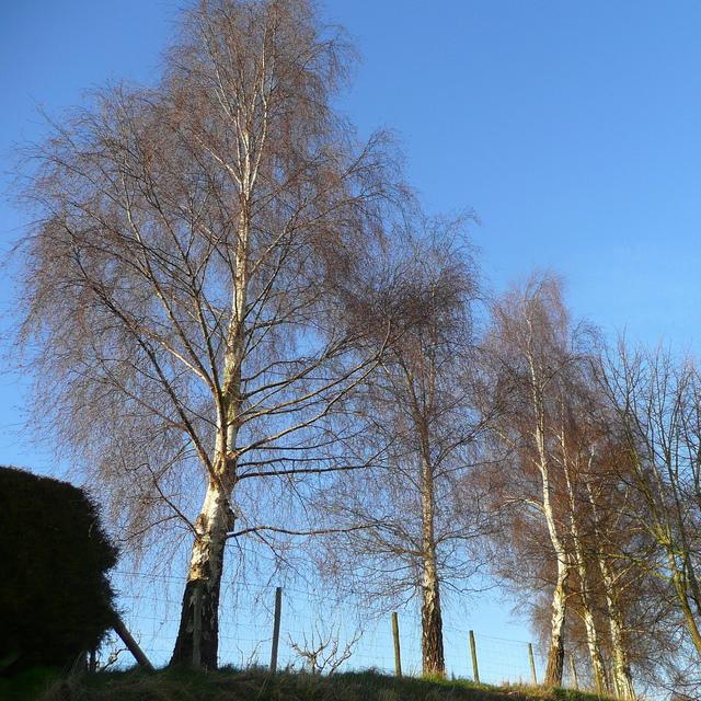 Silver birch in winter 1