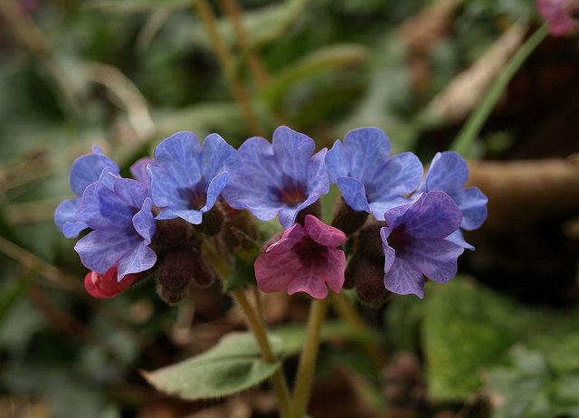 Common Lungwort, West Bagborough