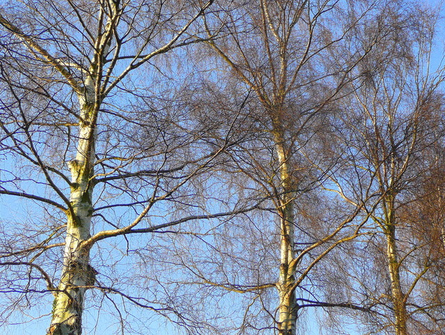 Silver birch in winter 3