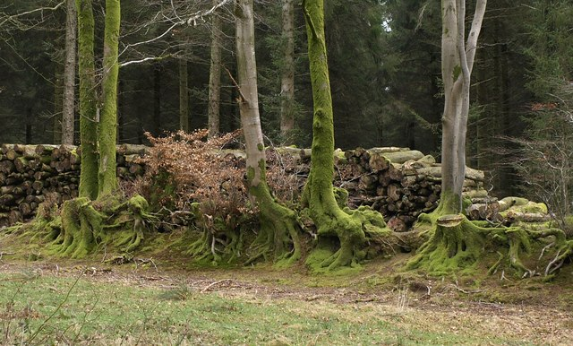 Mossy beeches, Muchcare