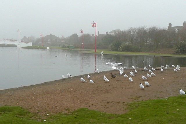 Gulls by the boating lake,  Queen's Park, Mablethorpe