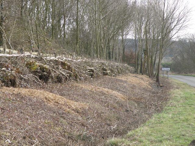 Hedge laying near Pilton