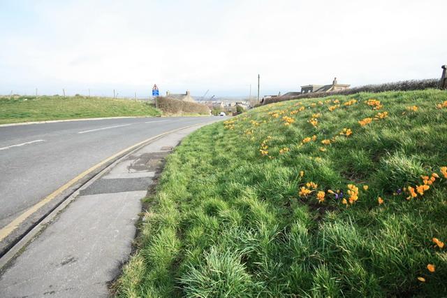 Crocuses on Tithebarn Hill