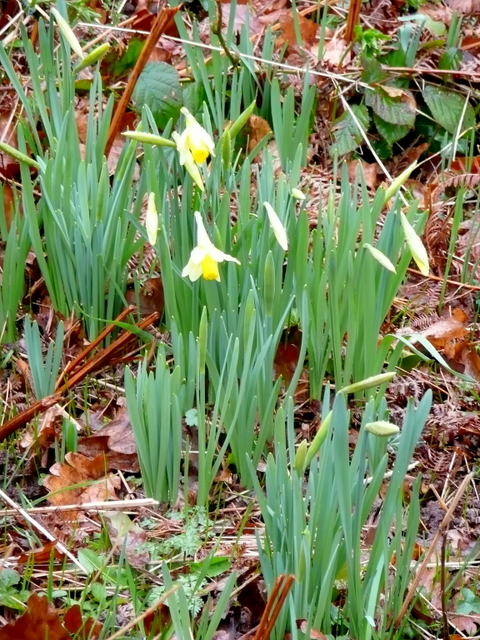 Wild daffodil, Narcissus pseudonarcissus