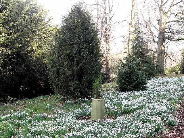 Snowdrops in Howick Hall Arboretum