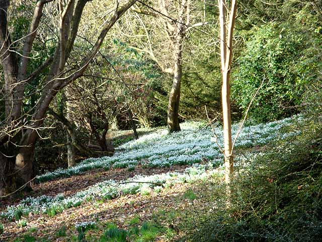 Snowdrops in Howick Gardens