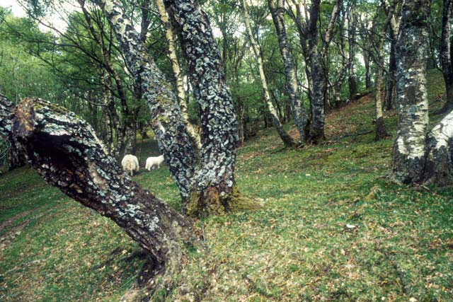 Birches, sheep.
