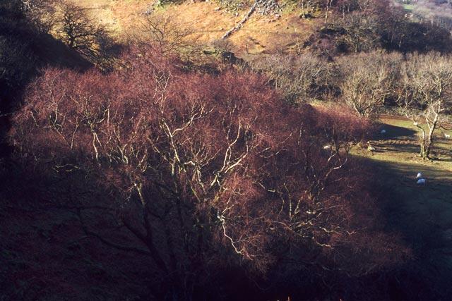 Birch crown, March.