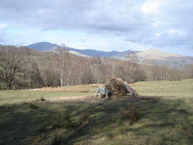 Sheep feeding - view across to the fells behind Ambleside
