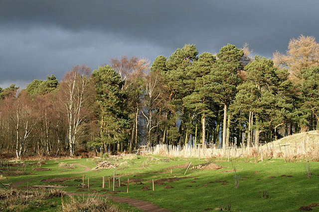 Scots Pine trees in Pishwanton Community Wood