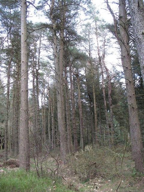 Scots pines, Beecraigs