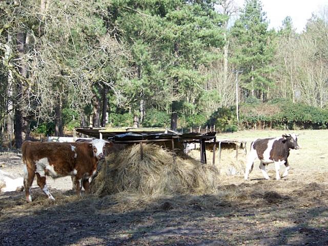 Cattle near Avon