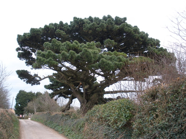 Monterey Pine, near Little Dartmouth