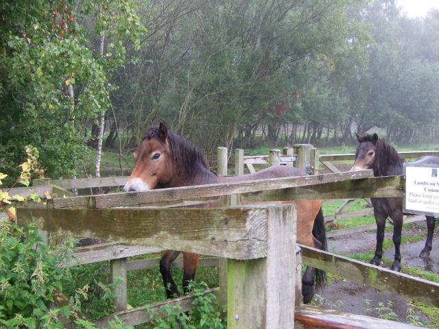 Skipwith Common Ponies