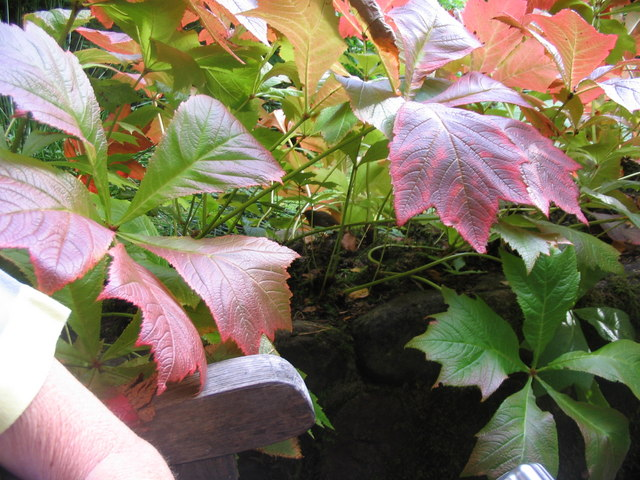 Some colourful foliage at Inverewe Gardens