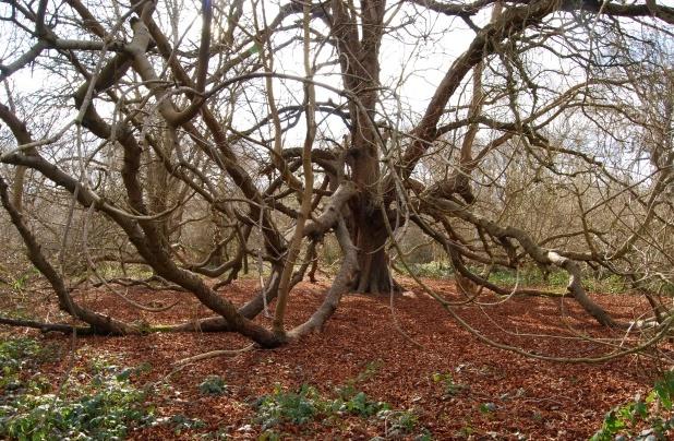 Beechen wood, March 2009