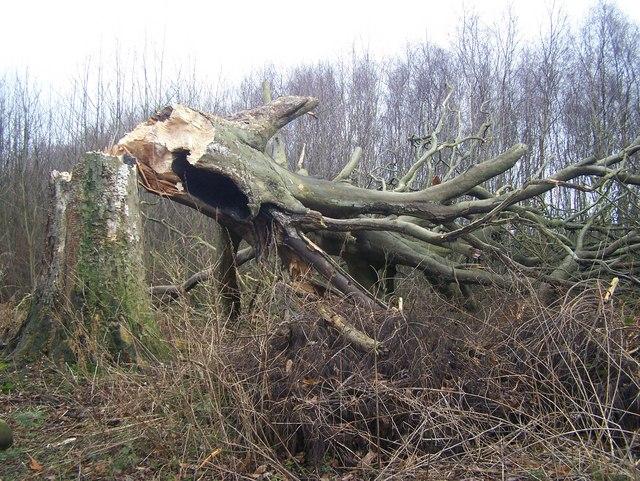 Fallen Tree in King's Wood
