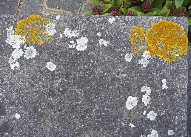 Lichen on garden wall, London N14