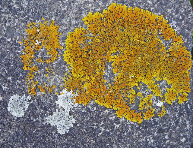 Lichen on garden wall, London N14