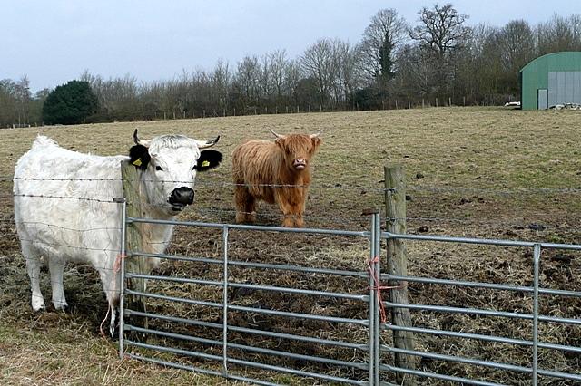 Cows at Upper Lodge