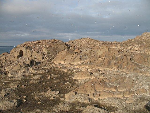 Defoliated ground, Bass Rock