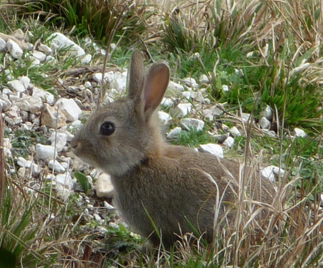 Old Sarum, young rabbit on the inner mound