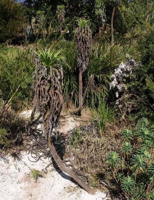 Echium pininana, Coleton Fishacre