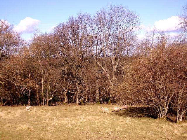 Woodland pasture
