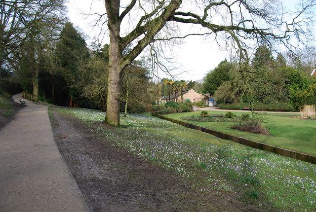 Crocuses by the stream, Alexandra Park